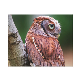 Pablo the Screech Owl Canvas Print