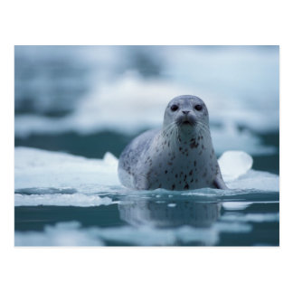 pacific harbor seal, Phoca vitulina richardsi Postcard