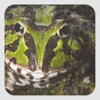 Pacific Horned Frog Ceratophrys stolzmanni) 3 Square Sticker