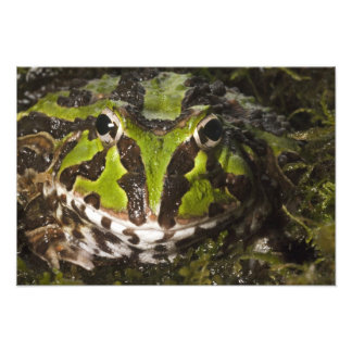 Pacific Horned Frog Ceratophrys stolzmanni) Art Photo