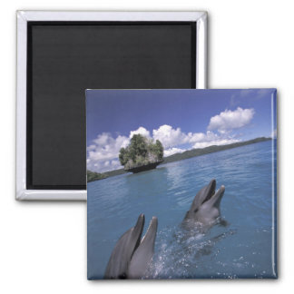 Pacific, Micronesia, Palau, Bottlenose Square Magnet