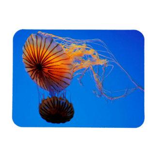 Pacific Sea Nettle (Chrysaora Fuscescens) Magnet