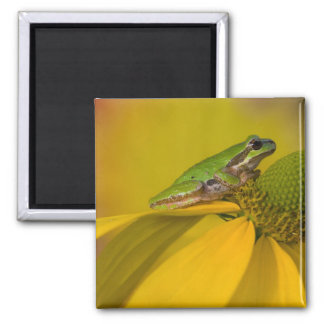 Pacific tree frog on flowers in our garden, 2 square magnet