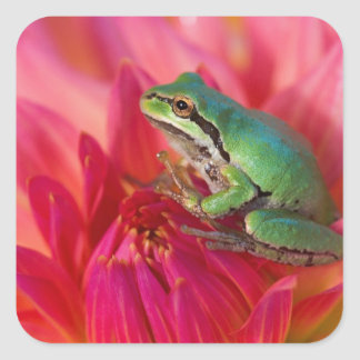 Pacific tree frog on flowers in our garden, 4 square sticker