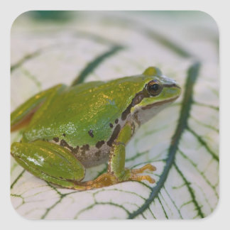 Pacific tree frog on flowers in our garden, square sticker