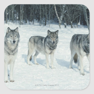 Pack of wolves at edge of snowy forest square sticker