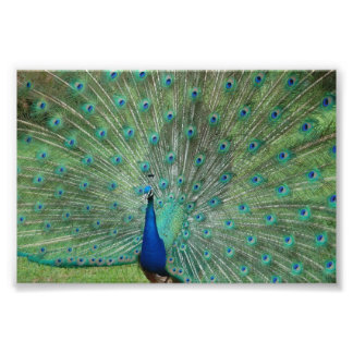 Paignton Peacock Photo Print