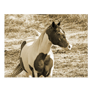 Paint Pony Postcard