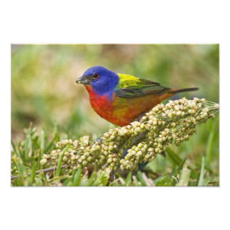 Painted Bunting Passerina citria) adult male Photograph