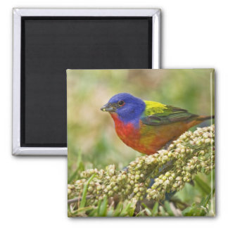 Painted Bunting Passerina citria) adult male Square Magnet
