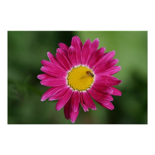 Painted Daisy Poster or Print