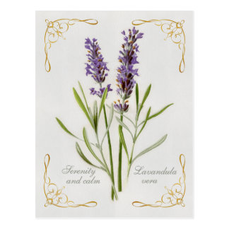 Painted Lavandula Vera Serenity and Calm Postcard