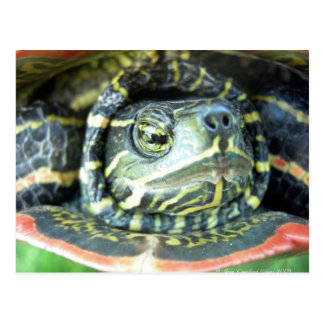 Painted Turtle (Chrysemys picta) 2 Postcard