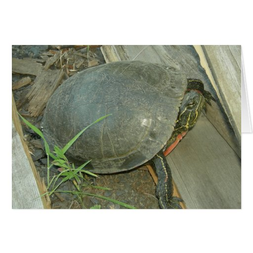 Painted Turtle (Chrysemys picta) Card