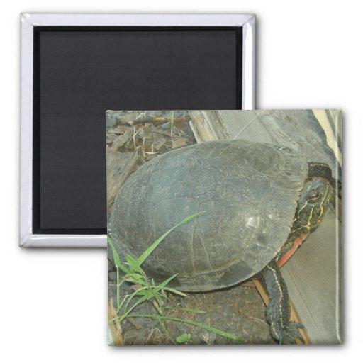 Painted Turtle (Chrysemys picta) Fridge Magnet