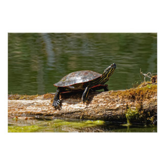 Painted Turtle on a Log Photo Print