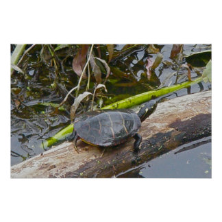 Painted Turtle Sunning Poster