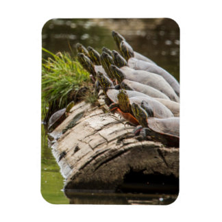Painted Turtles Sunning Themselves In A Pond Rectangular Photo Magnet