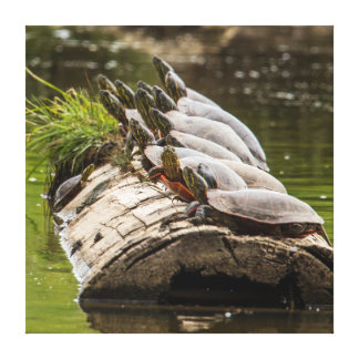 Painted Turtles Sunning Themselves In A Pond Stretched Canvas Print