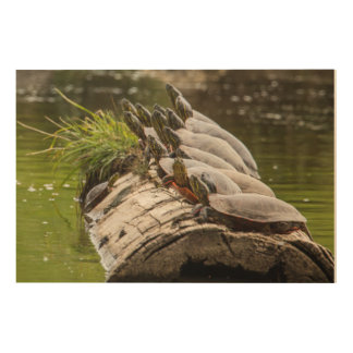 Painted Turtles Sunning Themselves In A Pond Wood Print
