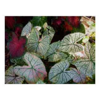 Painterly Watercolor Colourful Caladiums 36x27 Poster