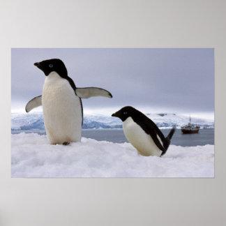 Pair Adelie penguins Antarctica Poster