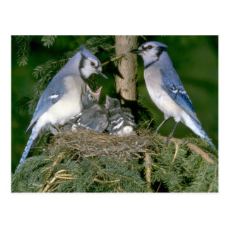 Pair of Blue Jays with young Postcard