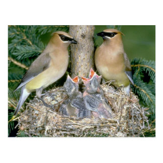 Pair of Cedar Waxwings with young Postcard