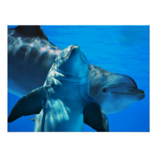 Pair of Curious Dolphins Poster