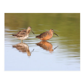 Pair of Dowitchers Postcard