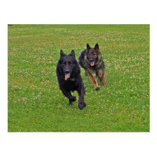 Pair of German Shepherds Postcard