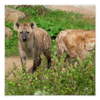 Pair of Hyenas Poster