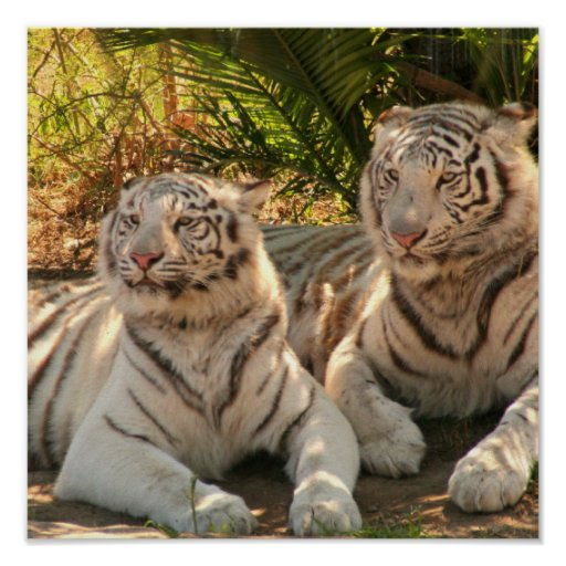 Pair of White Tigers Poster