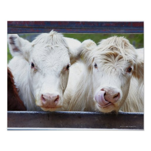 Pair of young white cows at feeding trailor posters
