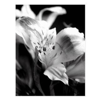 Pale Lily in Monochrome Postcard