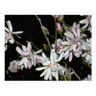 Pale Pink Magnolia Blossoms flowers Post Card