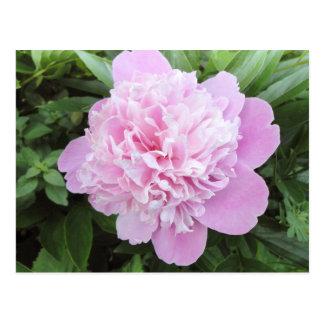 Pale Pink Peony postcard