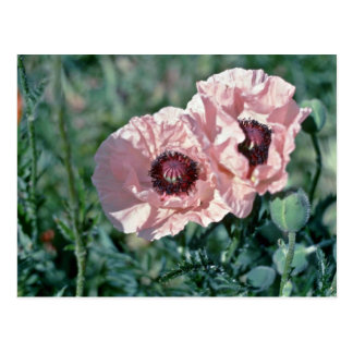 Pale Pink Poppies flowers Post Cards