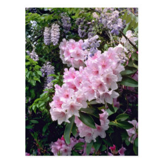Pale Pink Rhododendrons flowers Postcard