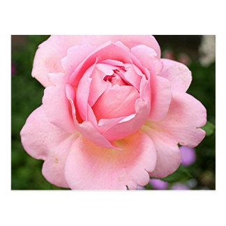 Pale pink rose flower in bloom in garden postcard