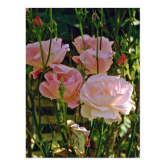 Pale Pink Roses flowers Post Card