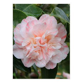 Pale pink striped camellia postcard