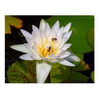 Pale Thai Lotus Flower Postcard