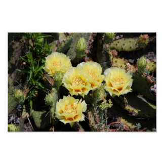 Pale Yellow Cactus Blossoms Poster