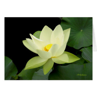 Pale yellow floating water lily leaves card
