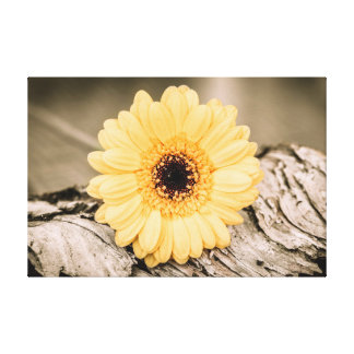 Pale Yellow Gerbera Flower Gallery Wrapped Canvas