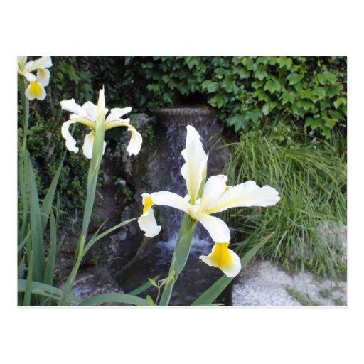 Pale Yellow Irises Postcards