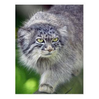 Pallas Cat, Wildcat, Wild Cat Photo Postcard