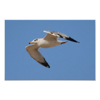 Pallas's Gull Poster