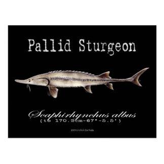 Pallid Sturgeon-Black-Postcard Postcard